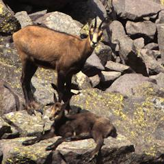 Walking in the mountains surrounding the valley Canzoi, it is not uncommon to come across a chamois female with her baby